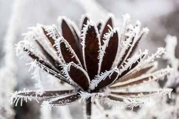 Rost und Schnee Chrysantheme